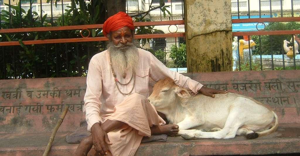 Ascète (sadhu) hindeau avec un veau. © Abdel Sinoctou - Domaine public