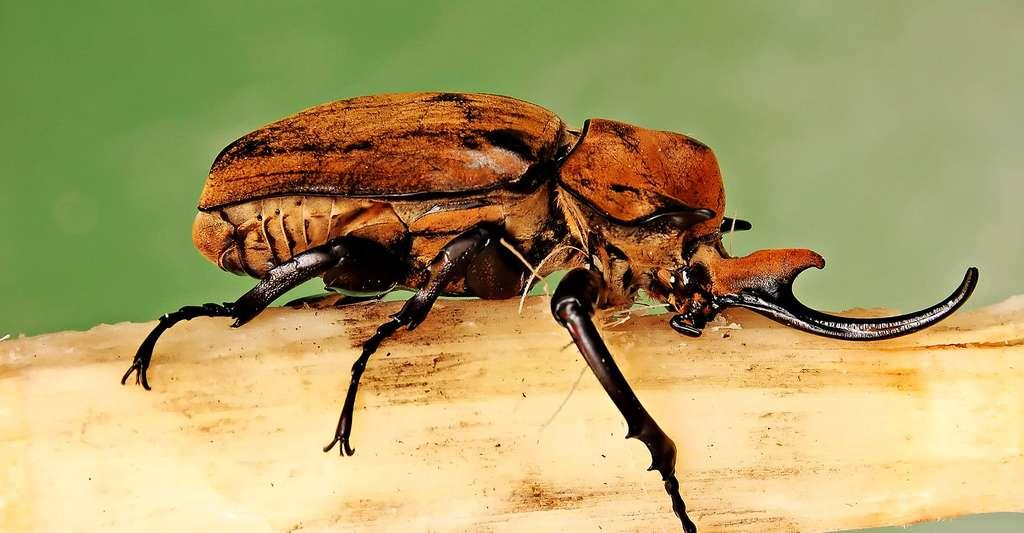 Megasoma elephas, scarabée-éléphant. © Derek Ramsey (Ram-Man), Wikimedia commons, CC by-sa 1.2
