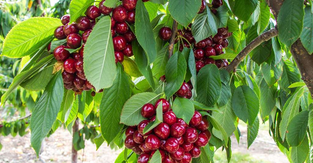 Planter dans un verger : quel espacement ? Ici, un cerisier ; il en existe des nains cultivables sur un balcon. © Dennis Flarsen, Pixabay, DP