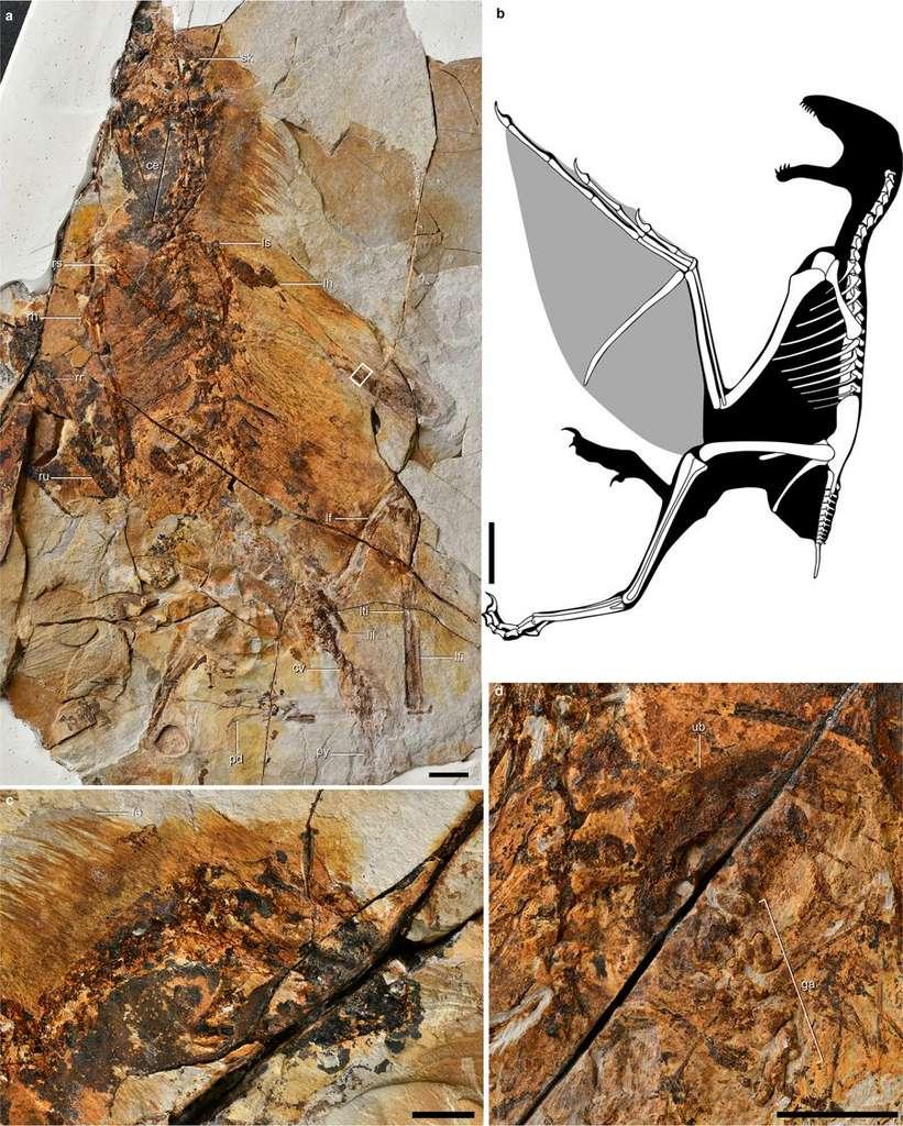 a, b et d : photos du fossile de Ambopteryx longibrachium retrouvé près de la ville de Lingyuan, en Chine. d : gros plan sur l'estomac fossilisé du petit dinosaure. b : reconstitution de l'animal fossilisé depuis plus de 160 millions d'années. © Min Wang, Jingmai K. O'Connor, Xing Xu & Zhonghe Zhou, Nature