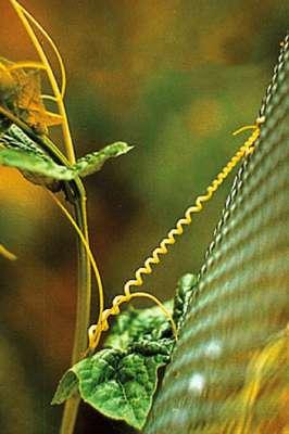 Fig. 4. Cette vrille de concombre sauvage s'accroche aux obstacles qu'elle rencontre pour progresser, en formant une hélice parfaite constituée de deux moitiés symétriques enroulées en sens inverse. C'est Charles Darwin qui, le premier, en a fourni une description scientifique. © DR