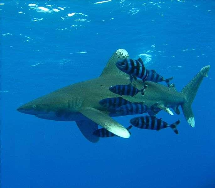 Requin longimane. © Johanlantz, GNU FDL Version 1.2