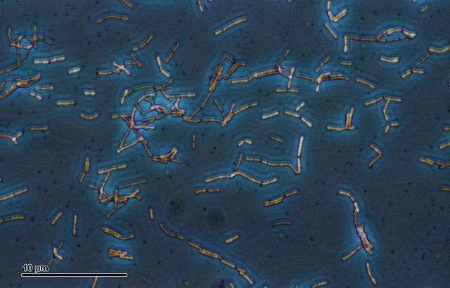 Des bactéries probiotiques, comme _Lactobacillus acidophilus_, ont servi à un test pour quantifier le nombre de bactéries transférées dans un baiser. © Josef Reischig, Wikimedia Commons, cc by sa 3.0