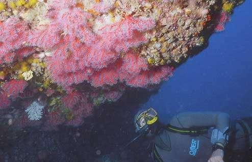 Figure 6 : le corail rouge est un ornement superbe des paysages sous-marins du nord de la Méditerranée. Réserve marine de Carry-le-Rouet, 23 m. © J.-G. Harmelin, tous droits réservés, reproduction et utilisation interdites