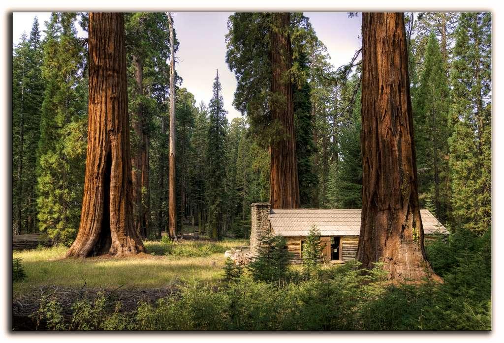 Sequoiadendron giganteum, séquoia géant, au parc national de Yosemite, aux États-Unis. © Vicente Villamon, CC by-nc-sa 2.0