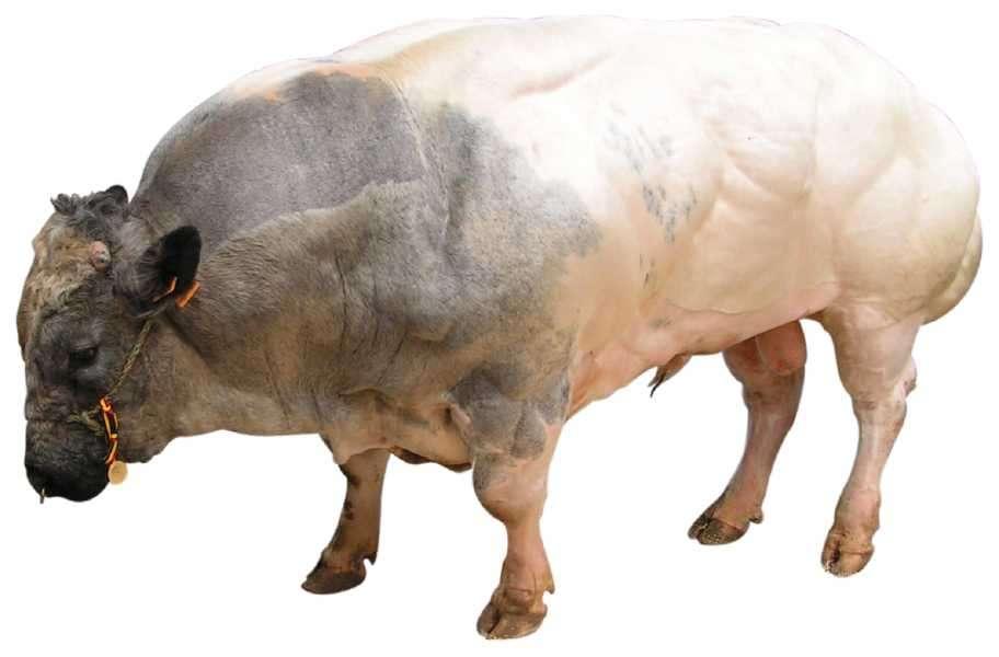 La vache blanc bleu belge est particulièrement musclée et résulte d'une longue sélection. La génétique moléculaire permet d'aller beaucoup plus vite. © Prankster, Robi, Wikipedia, cc by sa 3.0