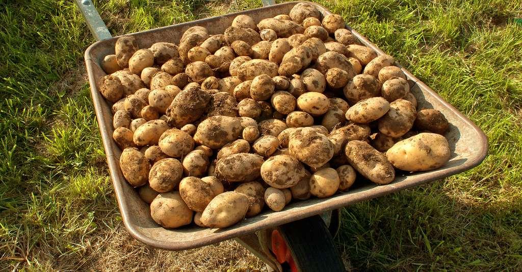 La culture de la pomme de terre. © Alupus, CC by-nc 3.0