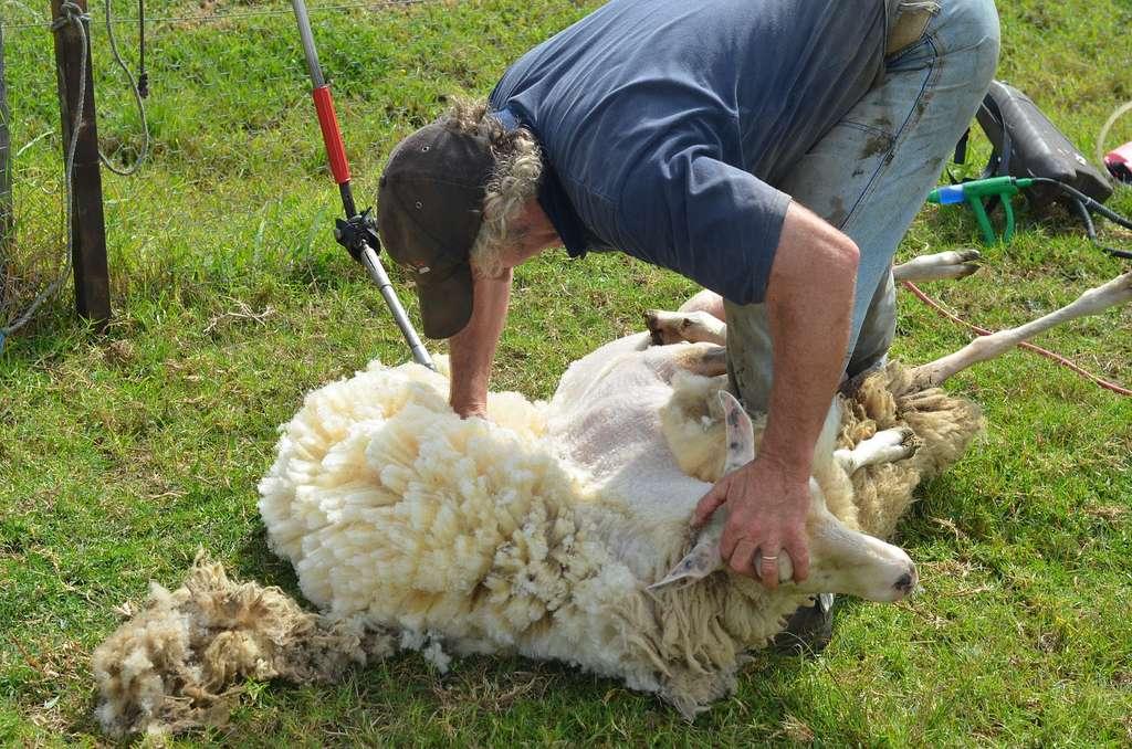 Les myiases touchent principalement les moutons élevés de plein air. La Lucilie cuivrée est responsable de 90 % des myiases ovines en Australie et Nouvelle-Zélande. © Tim Gould, Flickr/licence Creative Commons