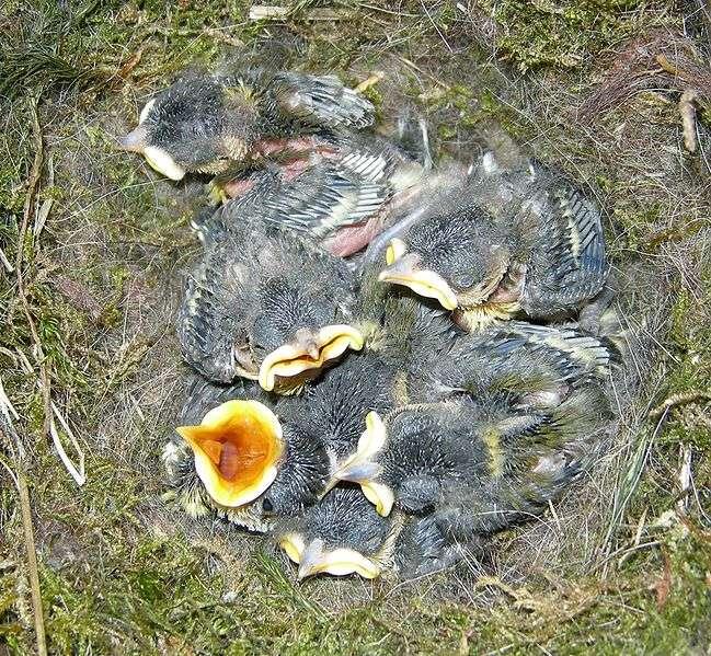 Oisillons au nid. © Arnstein Ronning, GNU FDL Version 1.2