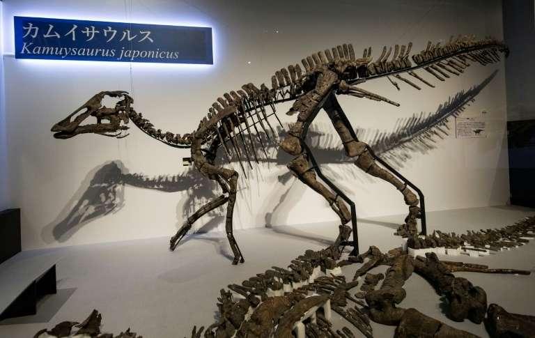 Reconstitution d'un squelette d'une nouvelle espèce de dinosaure, long de 8 mètres, le plus grand jamais trouvé dans l'archipel nippon. © Behrouz Mehri - AFP