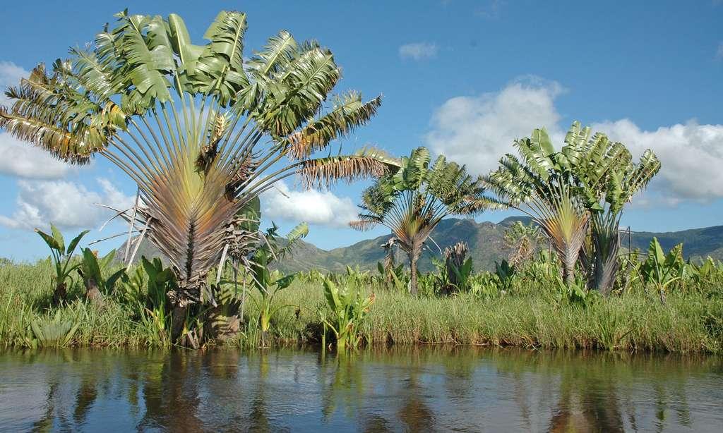 Le ravenala, aussi appelé arbre du voyageur (Ravenala madagascariensis), une plante tropicale de la famille des strelitziacées et originaire de Madagascar. Espèce endémique, c'est la seule espèce du genre dans l'île. Photo prise au bord des voies d'eau de Lokaro, près de Fort–Dauphin. © Antoine