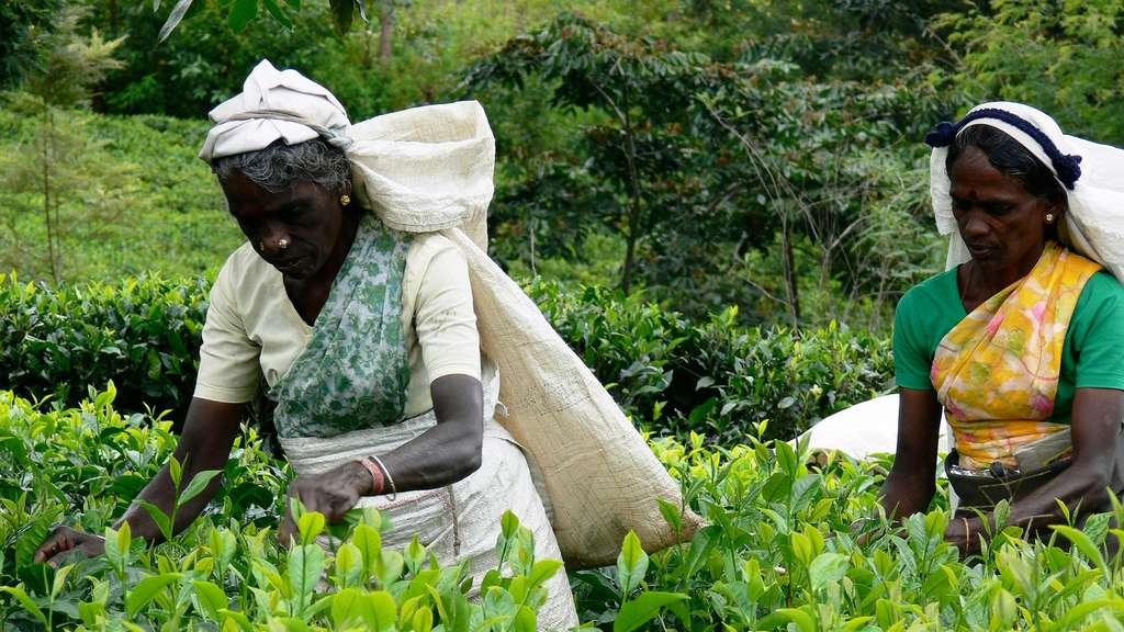 La cueillette du thé au Sri Lanka