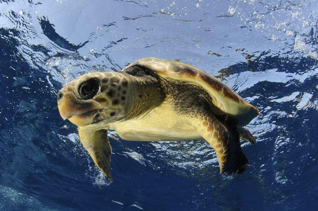 Les tortues marines sont le triste symbole de la pollution plastique des océans. Ici, une tortue caouanne, la plus commune des espèces en Méditerranée. Elle est considérée comme menacée. © N. Barraque