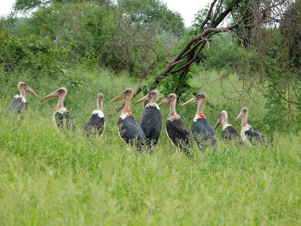 Marabouts d'Afrique sur la rivière Pafuri en Afrique du Sud. © Berniedup, CC by-nc-sa 2.0