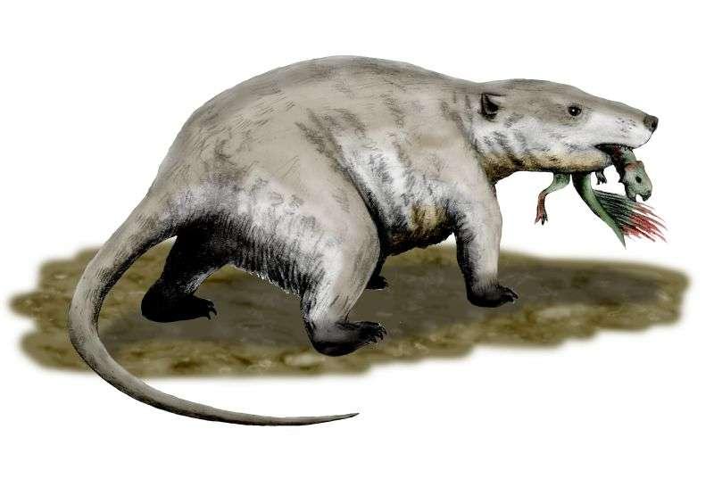 L'analogue moderne de Repenomamus giganticus est le raton laveur. © Nobu Tamura, CC by-sa 3.0