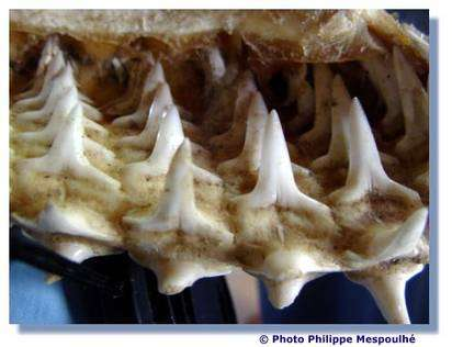 On peut voir ici la formation des dents. © P. Mespoulhé