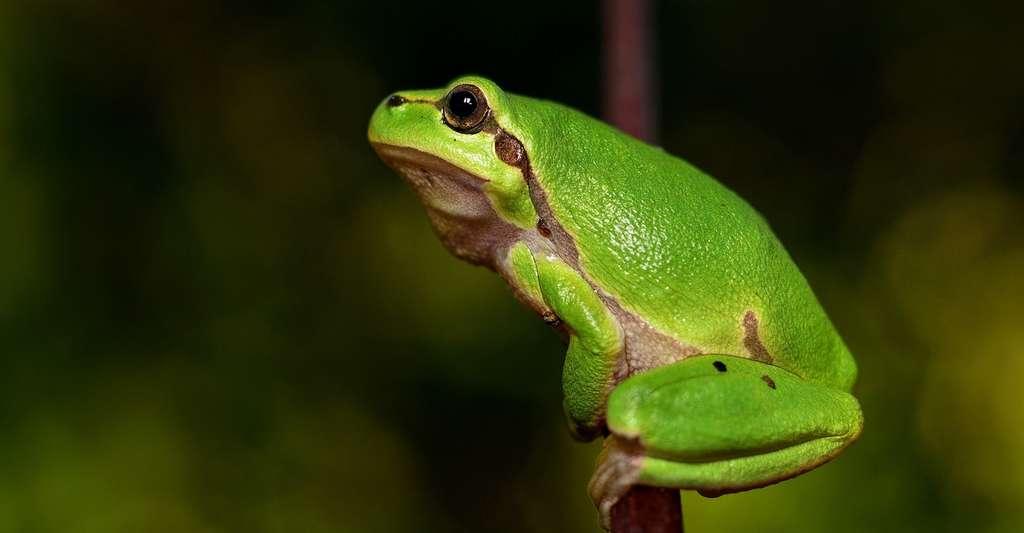 La peau de la grenouille est généralement plutôt lisse. © BubbleJuice, Pixabay, DP