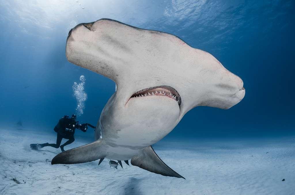 Le grand requin-marteau, un redoutable prédateur en danger