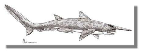 Scapanorhynchus, un requin lutin du Crétacé. © Dessin Alain Beneteau