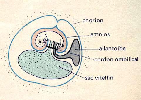 Embryon de 5 jours. © Reproduction et utilisation interdites