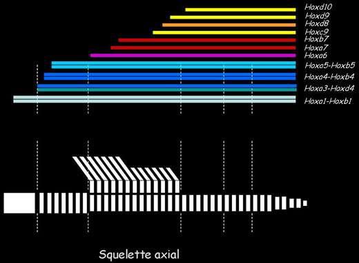 Code homéotique : un schéma de la colonne vertébrale est représenté en parallèle de rectangles colorés figurant l'étendue de l'expression de gènes Hox © Sophie Remacle, UCL