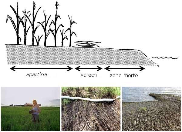 Le littoral de la Louisiane se décompose généralement en trois parties. Une zone morte, une zone de varech où les algues viennent se déposer avec la marée, puis une zone de marais où S. alterniflora est dominante. © McCall et Spennings, Plos One, 2012