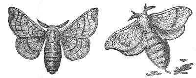 Bombyx mâle et bombyx femelle pondant. © DR