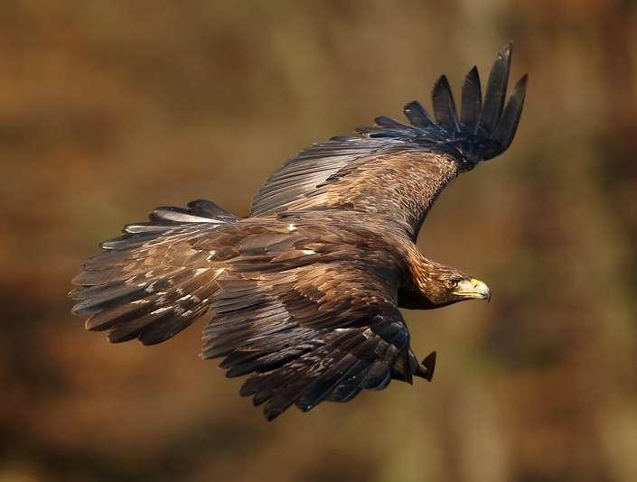 L'aigle royal est un as du vol. Capable de planer à de hautes altitudes et de repérer les proies au sol, il plonge en piqué sur ses victimes à 120 km/h. © Martin Mecnarowski, photomecan.eu, Wikimedia Commons, cc by sa 3.0
