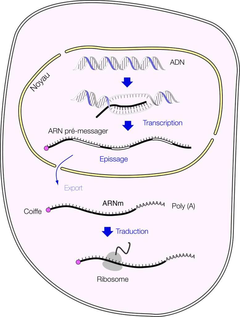 Les ARNm sont traduits en protéines dans le cytoplasme des cellules eucaryotes. © Fdardel, Wikimedia Commons, cc by sa 3.0