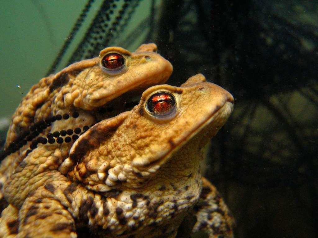 Les yeux de braise d'un couple de crapauds