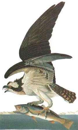 Balbuzard. © Audubon, reproduction et utilisation interdites