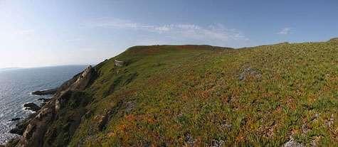 Zone à Carpobrotus sur l'île de Bagaud. © Imac Vincent, Domaine public
