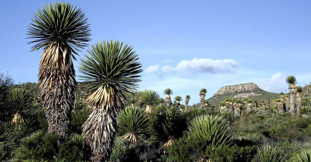 Bouquet de yuccas dans la région de San Luis Potosi, Mexico. © Tomas Castelazo, CC by-sa 2.5