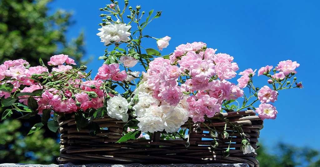 Bouquet de roses églantines. © Couleur - CCO