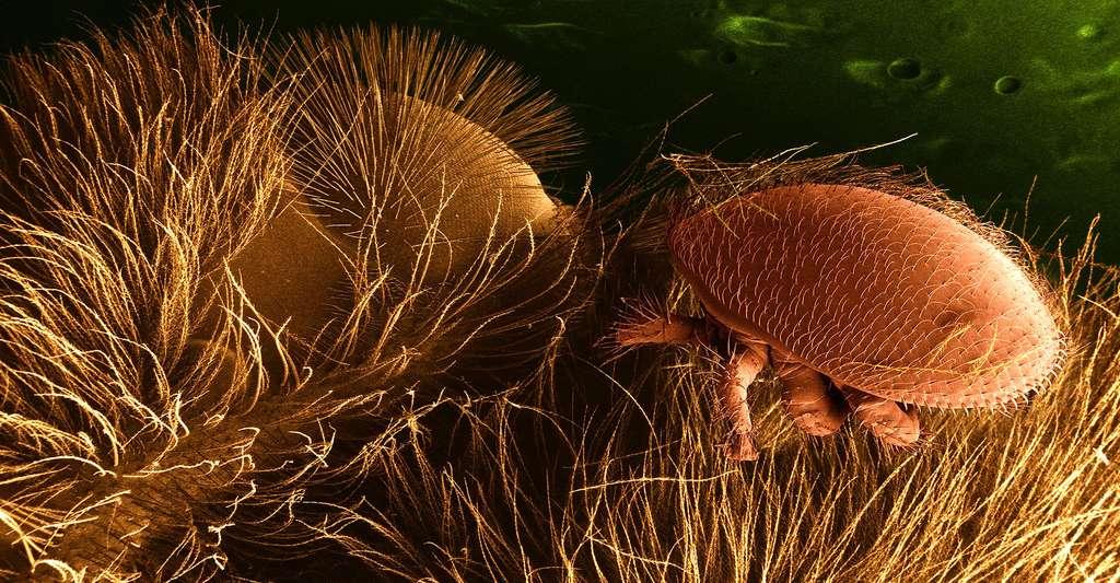 Varroa destructor est un acarien parasite de l'abeille adulte ainsi que des larves et des nymphes. Il est originaire de l'Asie du Sud-Est, où il vit aux dépens de l'abeille asiatique Apis cerana, qui résiste à ses attaques, contrairement à l'abeille domestique européenne Apis mellifera. © Brian0918, DP