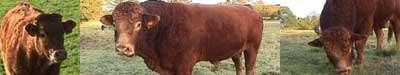 Le Herd-Book Limousin est le livre généalogique de la vache limousine. © Millevaches, CC by-sa 2.0