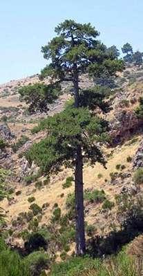 Pinus nigra subsp. salzmannii var. laricio (Loudon) (Hylander)