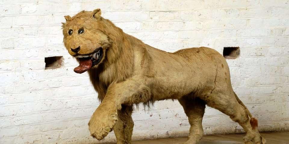 Le taxidermiste qui a empaillé Leo le lion n'avait probablement jamais vu l'animal de son vivant. © Kungligaslotten.se