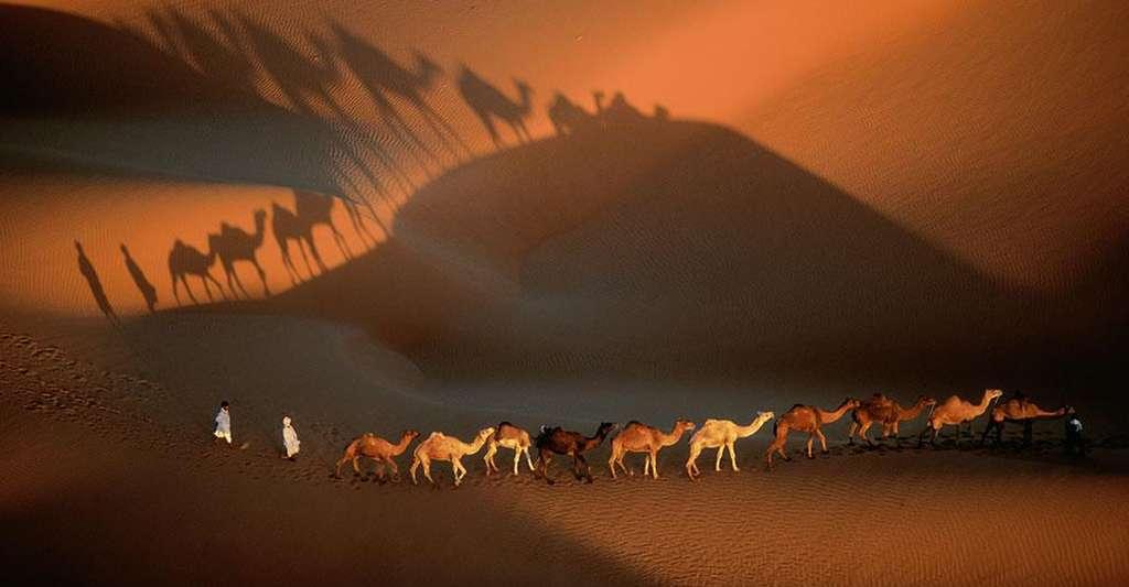 Mauritanie, caravane de dromadaires aux environs de Nouakchott, Mauritanie (18°09' N - 15°29' O). Le Sahara, le plus grand désert de sable du monde, couvre 9 millions de km² (l'équivalent des États-Unis) répartis sur onze pays. Sur sa bordure occidentale, la Mauritanie, aux trois quarts désertique, est particulièrement touchée par la désertification d'origine anthropique. Le surpâturage et la récolte de bois de feu suppriment peu à peu la végétation fixatrice des grands massifs dunaires, facilitant la progression du sable qui menace des villes comme Nouakchott. © Yann Arthus-Bertrand - Tous droits réservés