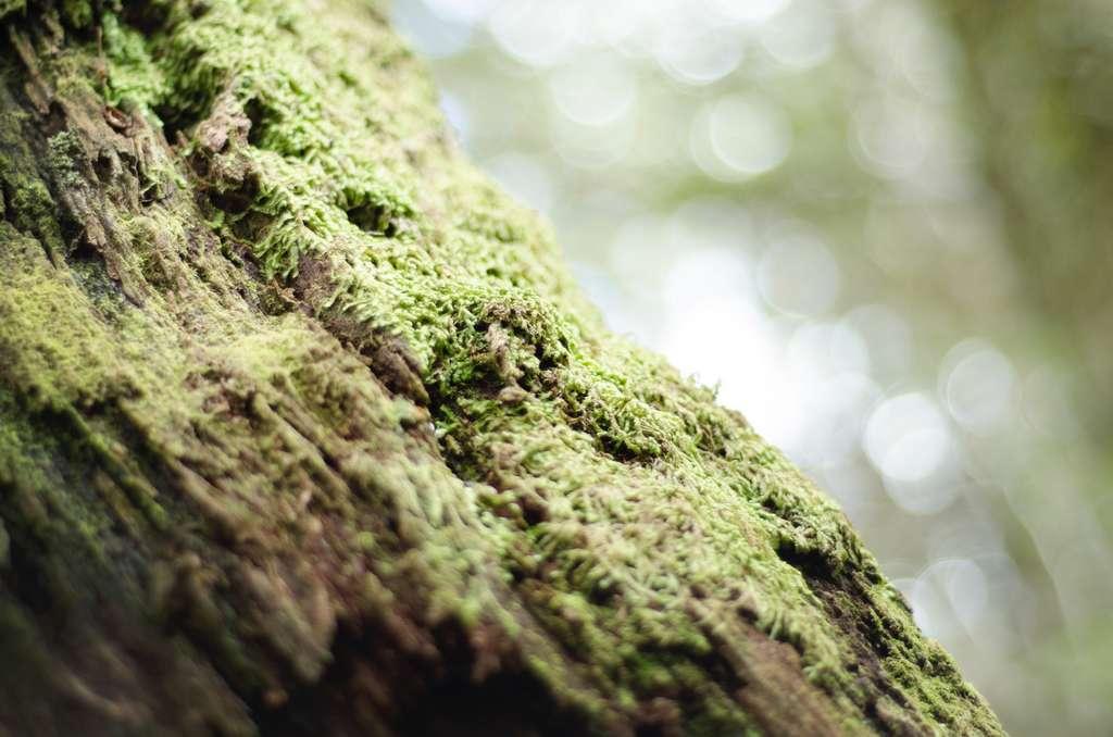 Ne vous fiez pas à la mousse sur les arbres pour retrouver votre chemin. © Kory Pence, Unsplash