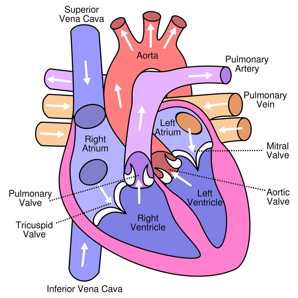 Schéma du cœur humain avec, en bas, le ventricule cardiaque droit (Right Ventricle) et le ventricule cardiaque gauche (Left Ventricle). © Wikimedia Commons, CC by-sa 3.0
