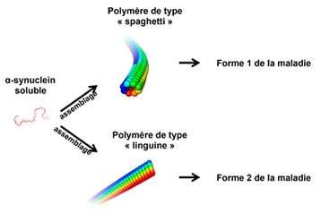 Représentation schématique des deux types d'agrégats de l'alpha-synucléine. Selon cette étude, la forme « spaghetti » serait beaucoup plus toxique que la forme « linguine ». © Luc Bousset, CNRS