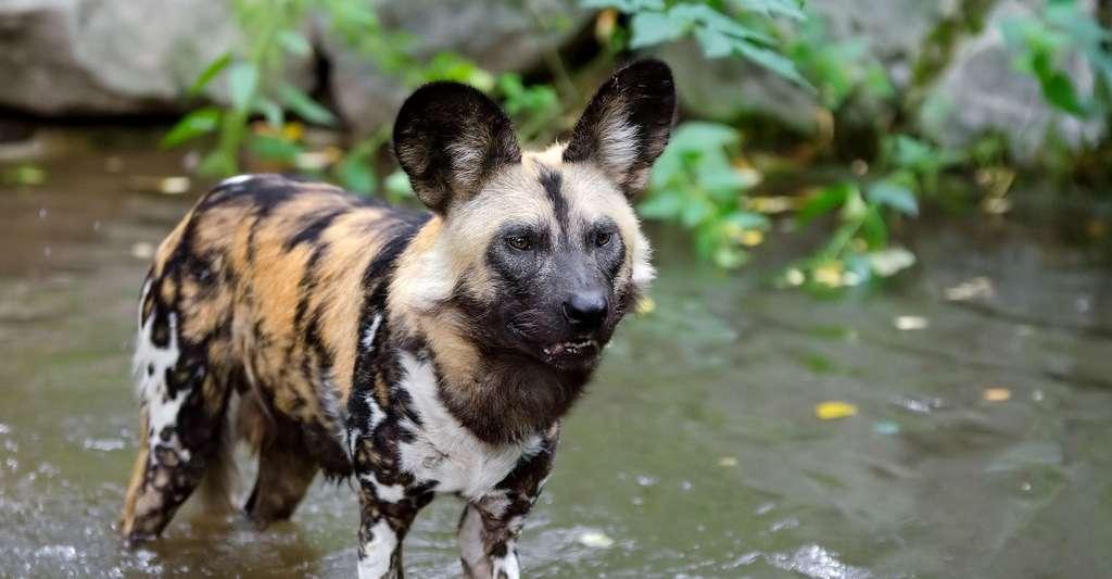 Lycaon ou chien sauvage d'Afrique. © Mathias Appel, Wikimedia Commons, DP