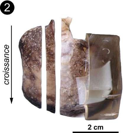 Exemple de coquille de bivalve ayant une couche calcitique et une couche aragonitique. Photo 2 : Valve d' I. isognomon préparée pour observations et analyses. La lamelle du milieu est montrée en coupe sur la photo 3 © C.E. Lazareth. Reproduction et utilisation interdites