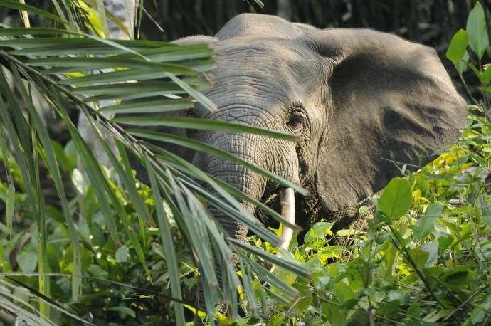 Lorsque l'éléphant a peur, il dresse ses oreilles, comme le fait sur cette image un éléphant de forêt en Afrique. © dsg-photo.com, Wikipédia, CC by-sa 3.0