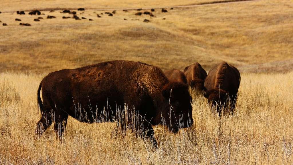 Le parc national de Wind Cave et ses troupeaux de bisons
