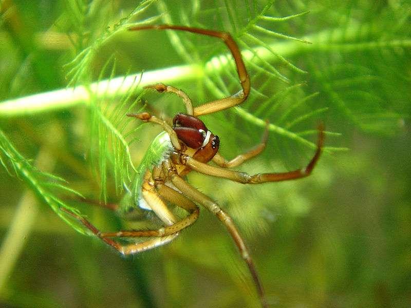 Argyronète sous l'eau. Il s'agit de la seule espèce d'araignées à avoir adopté ce mode de vie. © Norbert Schuller Baupi, Wikipédia, GNU 1.2