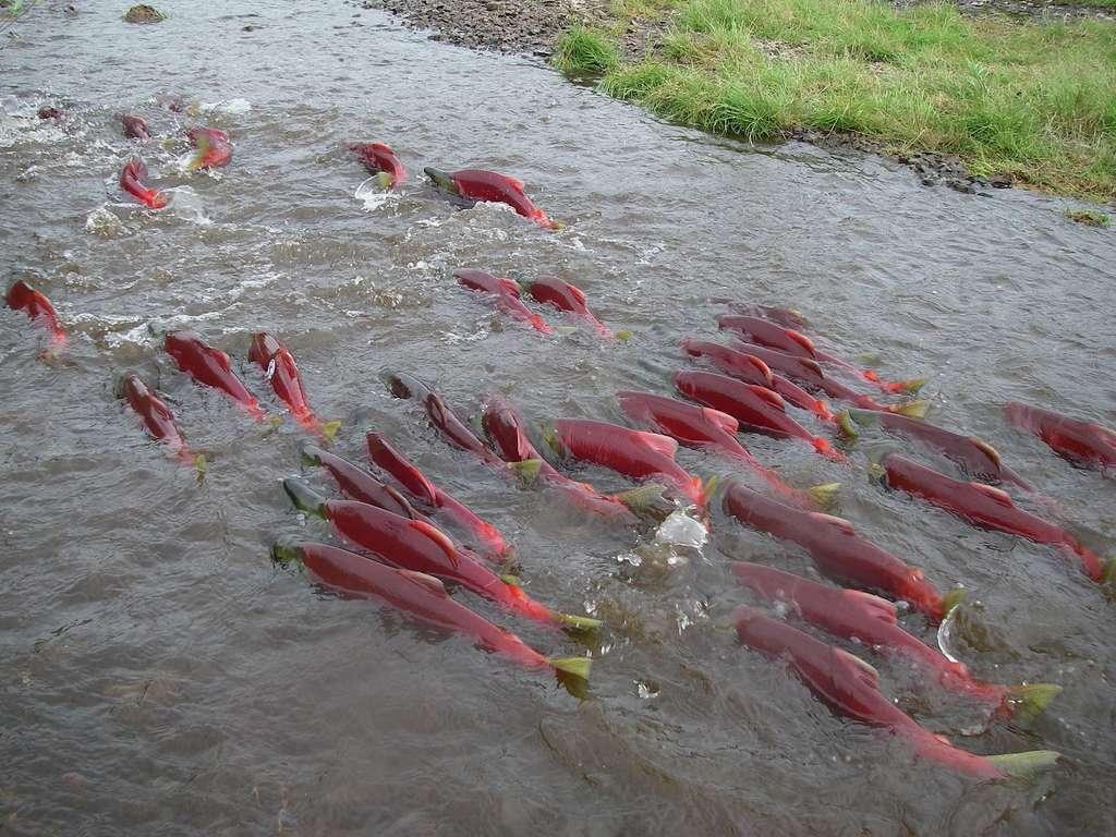 Le saumon rouge (Oncorhynchus nerka) vit principalement dans le nord du Pacifique. Lorsque ces poissons vivent dans l'océan, leur couleur vire au bleu argenté. C'est seulement durant la saison de reproduction que les mâles et les femelles ont arborent une livrée rouge ornée d'une tête verte. © Dr. Tom Quinn, University of Washington