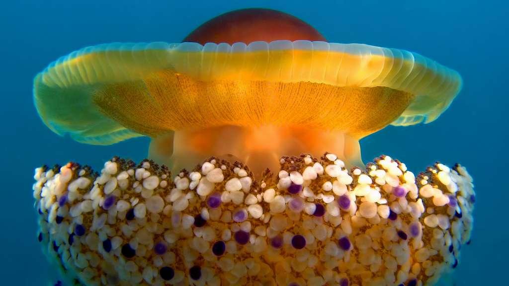 Cotylorhiza tuberculatanus, la méduse « œuf au plat »