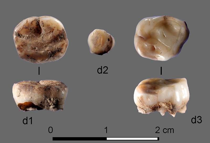Ces deux dents de lait ont permis d'identifier le nouveau groupe humain des vieux Sibériens du nord. © Université de Cambridge